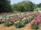champ roses